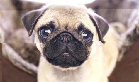 raza pug todo sobre la raza de perro pug comportamiento cuidados or 237 genes