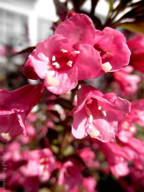 leaves pink flowers shrub weigela florida alexandra wine and roses weigela
