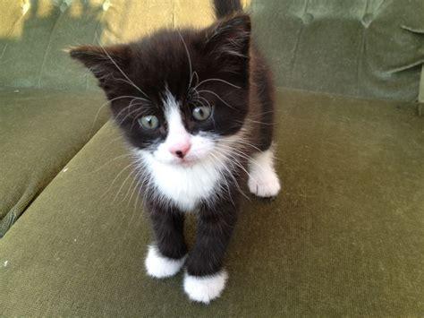 black and white kitten playful fluffy black white kitten for sale norwich