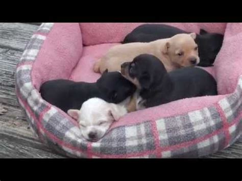 puppies for sale in fredericksburg va how to wean chihuahua puppies 4 weeks sol doovi