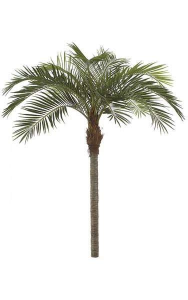 11 coconut palm tree straight trunk