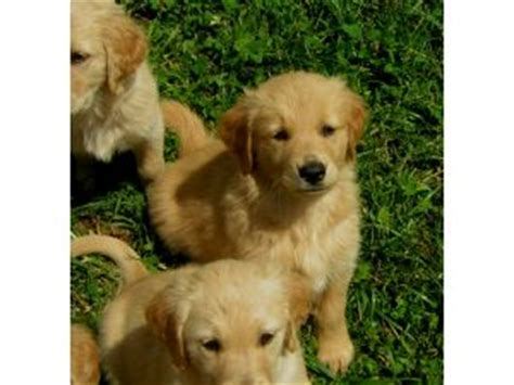 golden retriever breeders ky golden retriever puppies in kentucky