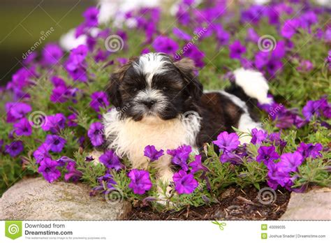 how to a shih tzu to lay fluffy shih tzu puppy laying in flowers stock image