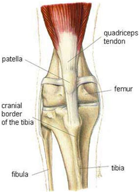 kneecap diagram patellar luxation what you should about this knee