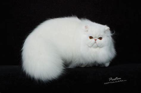 cat price cat price range kittens for sale cost