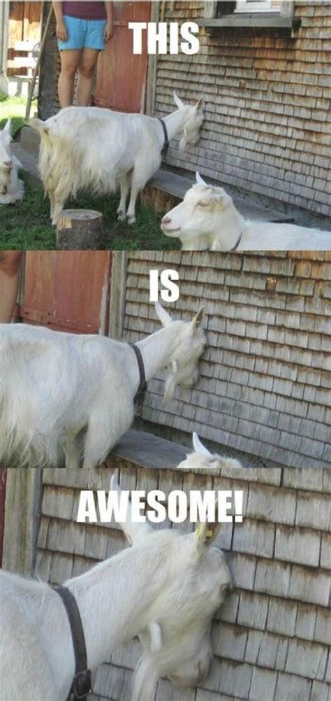 Funny Goat Memes - pz c funny animal memes