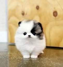 teacup pomeranian mix 25 best ideas about husky pomeranian mix on pomeranian husky puppies
