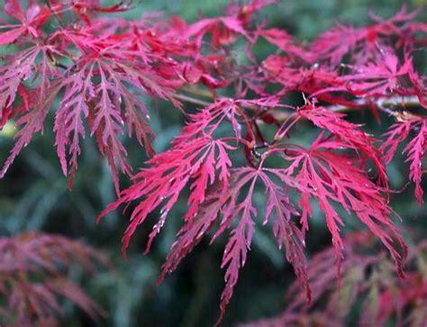 golden laceleaf japanese maple lace leaf japanese