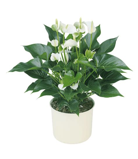 Tanaman Hias Anthurium Pink white anthurium plant gift guru