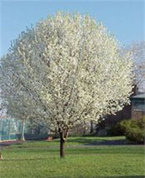 medium sized flowering shrubs 1000 images about flowers and trees on flower