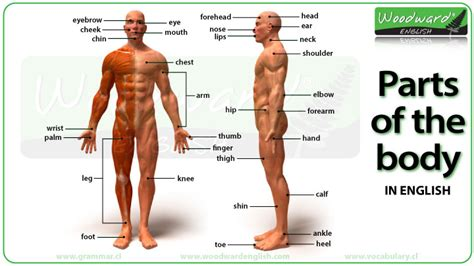 sections of body parts of the body photos and english vocabulary