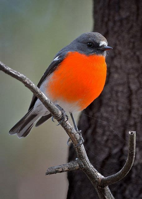 male flame robins have a bright orange breast and throat