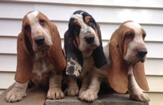 basset hound puppies ga huff s hounds akc basset hound puppies for sale in american and european