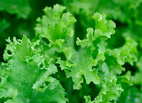 The Growing growing mustard greens bonnie plants
