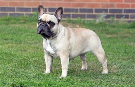 rottweiler puppies scotland dersieger rottweilers uk breeder of rottweiler and bulldog puppies in scotland