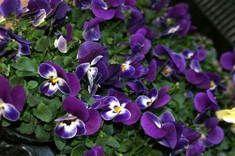 piante da giardino con fiori viola viole fiori piante annuali viole fiori giardino