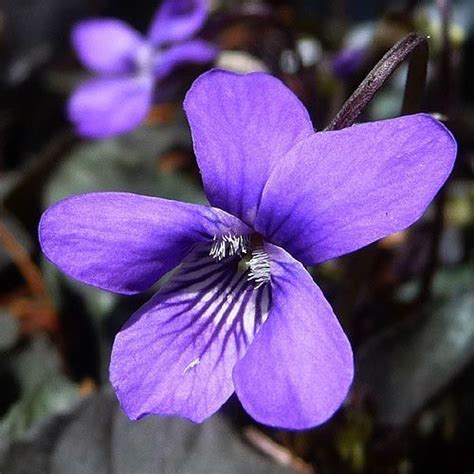 Flowers Violet 17 best ideas about february birth flowers on