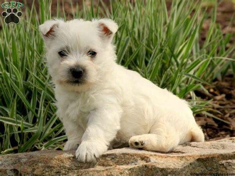 westie puppies for sale in pa a sweet westie puppy for sale from millersburg pa puppies for sale