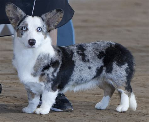 blue merle corgi puppies cardigan corgi blue merle puppies cardigan with buttons