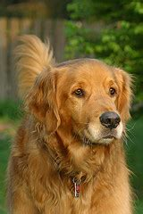 arthritis in golden retrievers arthritis in dogs and how you can help manage it