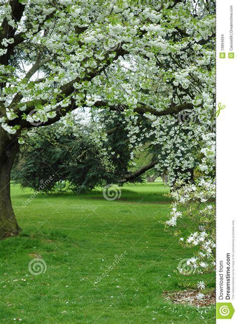 albero con fiori bianchi albero con i fiori bianchi fotografia stock immagine di