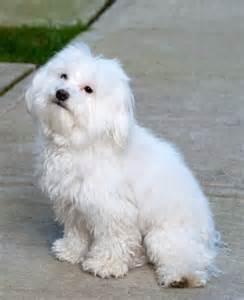 pomeranian bichon poodle mix papillon grown maltese breeds picture
