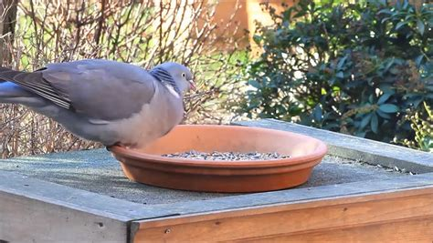 pigeon big dove feeding bird food winter stock footage