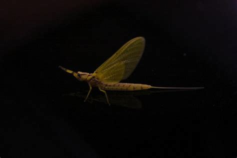 yellow mayfly pattern 17 best images about hexagenia hex mayflies on pinterest
