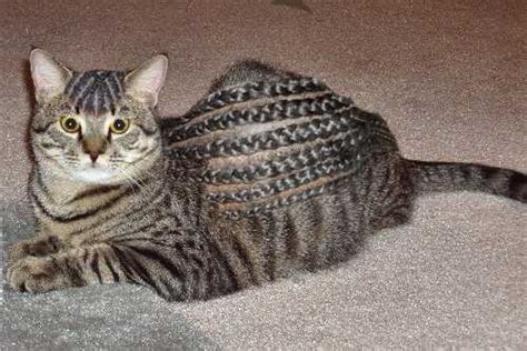 cat haircuts gone wrong clip jobs the top 10 weird and bizarre dog cat haircuts