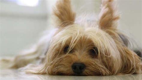 los perros magicos de 0892391294 191 c 243 mo funcionan las feromonas en los perros tiendanimal