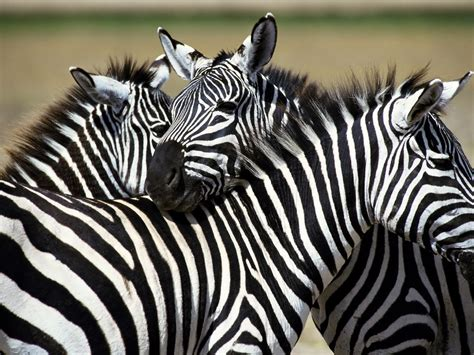 zebra wallpaper for pc desktop plains zebra hd wallpaper high quality