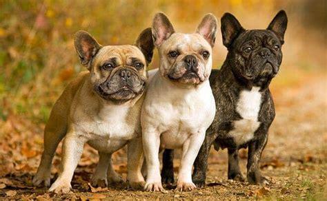 bulldog francese alimentazione bouledogue fran 231 ais carattere e caratteristiche