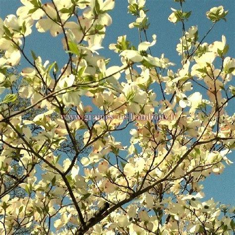 Arbuste A Fleur 762 by Graines De Cornouiller Officinal Cornus Officinalis