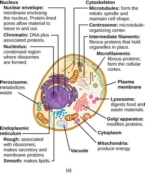 eukaryotic cells biology libretexts