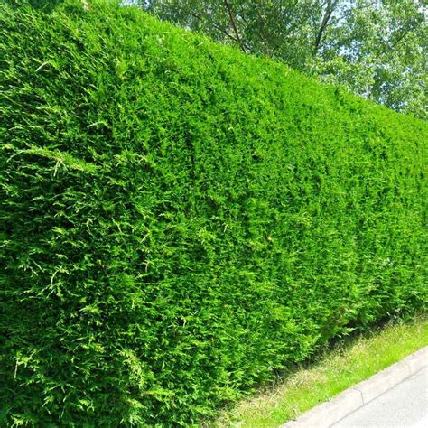 best evergreen hedge hedging conifers best4hedging