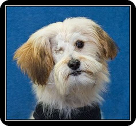 havanese lhasa apso jacquelyn adopted puppy fort braff ca havanese lhasa apso mix