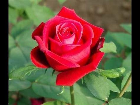 imagenes de rosas turquesas minhas flores roseira vermelha em vaso minha primeira