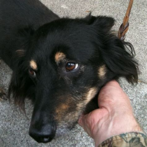rottweiler eyebrows of the day derby the rottweiler corgi mix the dogs of san franciscothe dogs of