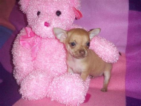 chihuahua puppies for sale ta chihuahua sale singapore chihuahua puppies buy buy chihuahua breeders chihuahua dogs breed chihuahua dogs for adoption