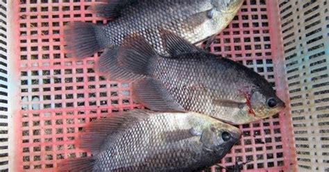 Harga Benih Ikan Gurame 2018 pakan ikan gurame indobeta