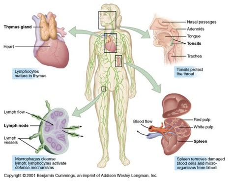 Detox Lymphs During Lymphoma by Lymph Nodes Cleanse Lymph Lymph Nodes