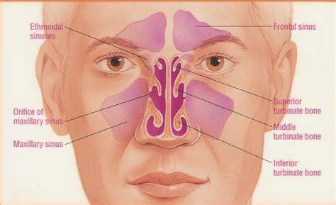 diagram of the sinuses of the anatomy of the sinuses otolaryngology houston