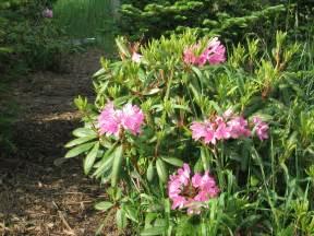 file rhododendron catawbiense jpg wikipedia