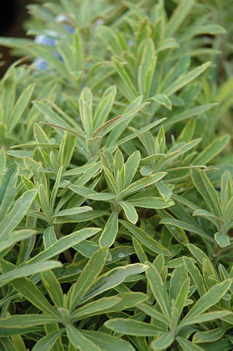 ascot rainbow variegated spurge euphorbia ascot rainbow in issaquah seattle bellevue redmond