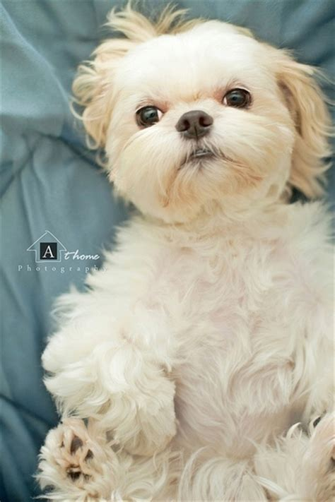 shih tzu teddy shih tzu teddy breeds picture