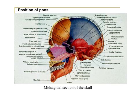 sagittal section of skull pons