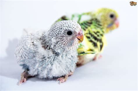 how does a to be to breed how to breed budgies pets4homes