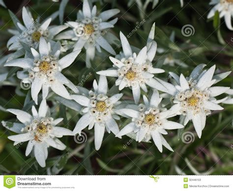 edelweiss fiori edelweiss flowers stock photos image 32446153