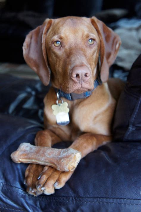 breed vizsla breeds with coats breeds picture
