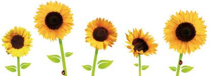 sunflowers png transparent images png
